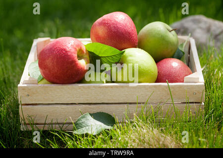 Fresh garden green and red apples in box. On outdoor grass meadow - Stock Image