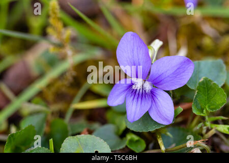 Common Dog Violet, Viola riviniana, growing in lawn, Monmouthshire, Wales - Stock Image