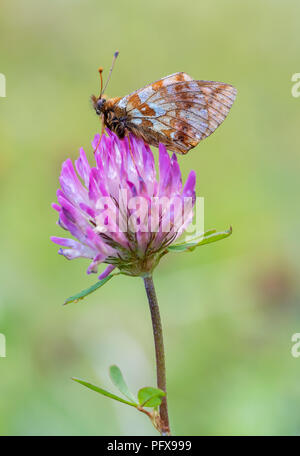 Marbled Fritillary (Brenthis daphne) - Stock Image
