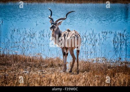 Solitary Male Greater Kudu, Tragelaphus strepsiceros, standing by a waterhole, Etosha National Park, Namibia, Southern - Stock Image