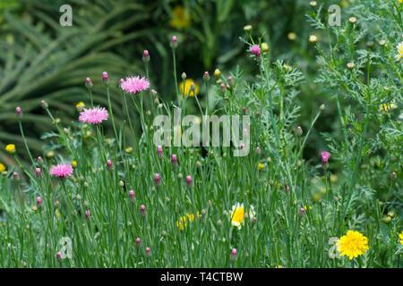 Garden flower - Stock Image