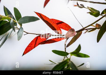 Eucalyptus. - Stock Image