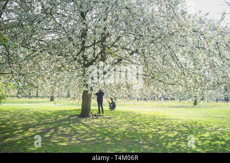 Tourists take photographs amongst the cherry blossom in Hyde Park, London - Stock Image