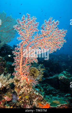 Godeffroys Soft Coral, Lissenung, New Ireland, Papua New Guinea - Stock Image