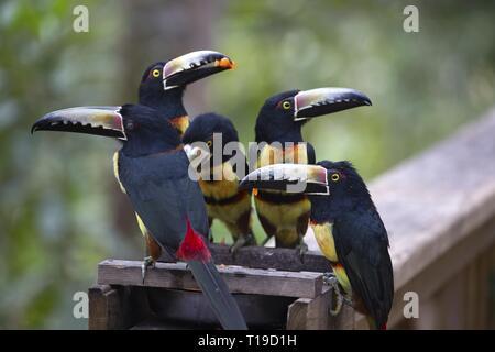 Group of Keel-billed Toucan Birds (Ramphastos sulfuratus or Rainbow billed Toucan) Feeding in Macaw Mountain Wildlife Reserve near Copan Honduras - Stock Image