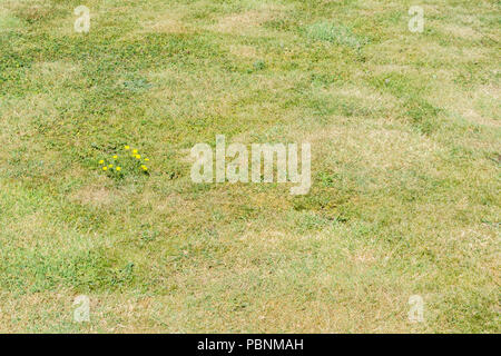 Small yellow daisy family plant in parched grass (2018 heatwave). Probably the plant is Common Catsear [Hypochaeris radicata] but unverified. - Stock Image