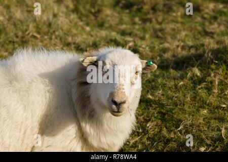 Welsh mountain sheep in upland pasture a hardy breed suited to the harsh hill and mountain ranges of Wales usually kept outdoors all year round - Stock Image