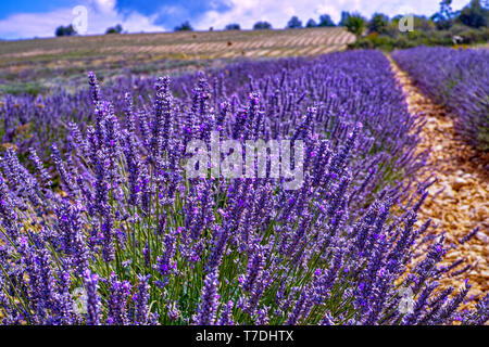 Lavender of Provence, summer fields with blossoming purple lavender plants in Van de Sault, Vaucluse, France, nature background - Stock Image