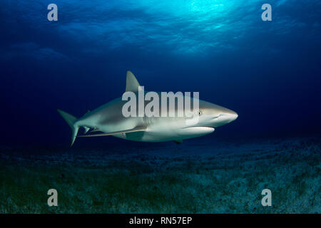 Caribbean Reef Shark (Carcharhinus perezi) over Sandy Sea Grass Bottom. Tiger Beach, Bahamas - Stock Image