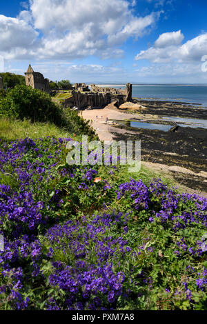 St Andrews Castle ruins on rocky North Sea coast overlooking Castle Sands beach in St Andrews Fife Scotland UK with purple geranium flowers - Stock Image
