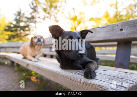 two dogs laying on wooden bench in the park - Stock Image