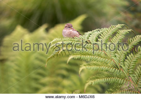 Sparrow sitting on a fern in Christchurch Botanical Garden, New Zealand - Stock Image