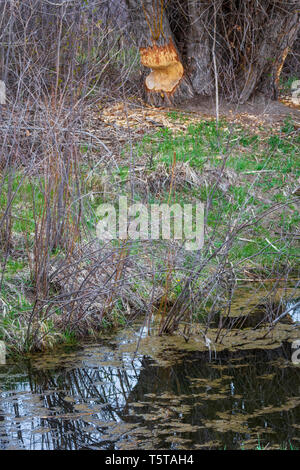 American Beaver habitat, shows creek with willows in foreground and greatly chewed Cottonwood tree by beaver in the distance, Castle Rock Colorado US. - Stock Image