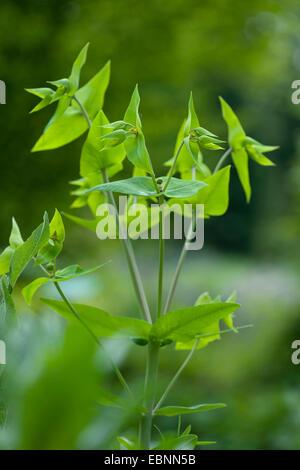 Caper spurge, Mole Plant (Euphorbia lathyrus, Euphorbia lathyris), inflorescence, Germany - Stock Image