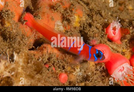 Lythrypnus dalli, Blue banded goby - Stock Image