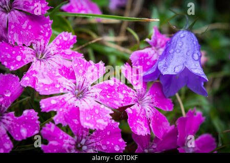 Pink flowers (Dobrogean Pink) and purple flowers (Romanian Bellflower) in the Carpathian Mountains, Romania - Stock Image