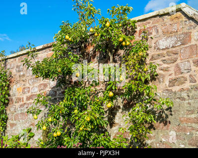Espalier Pear tree with ripe fruit in September in a Walled Garden in Melrose Scottish Borders - Stock Image