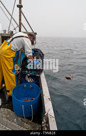 Sorting out the catch, returning under sized crab to the sea. - Stock Image