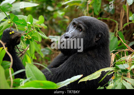 Mountain Gorilla (Gorilla beringei beringei) in Bwindi Impenetrable National Park, Uganda - Stock Image