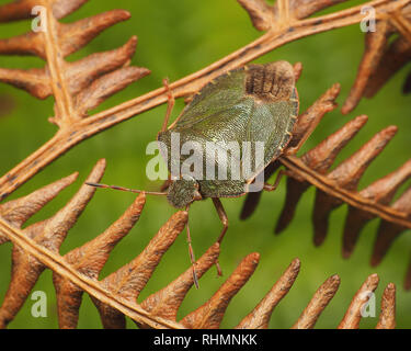 Common Green Shieldbug (Palomena prasina) still with some winter colour crawling on fern in winter. Tipperary, Ireland - Stock Image