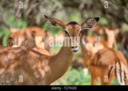 Close up head shot of  of Female impala looking at camera, with other female behinds in background - Stock Image
