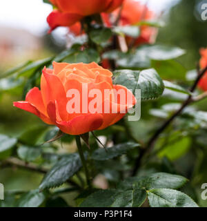 Beautiful orange rose growing in a garden in summer - Stock Image