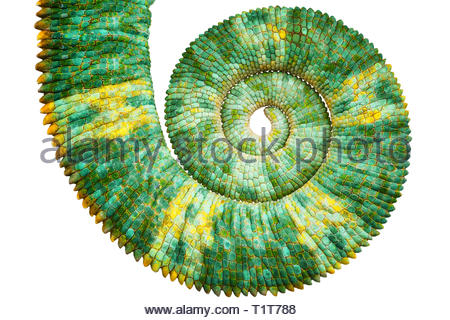 Close view of a beautiful  green colorful  chamaeleo calyptratus tail revealing the mathematic fibonacci spiral curve on black background. Species als - Stock Image