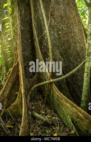 Buttress roots of a rainforest tree, Mushu Island, Papua New Guinea - Stock Image