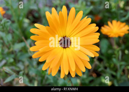 Close-up of bright yellow calendula flower blooming in the fall, Vancouver, BC, Canada - Stock Image