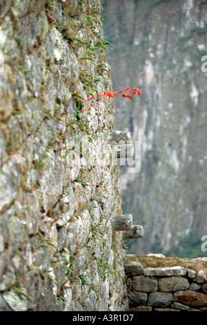 Tuberous Begonia Flower (Begonia veitchii) at Machu Picchu, Peru - Stock Image