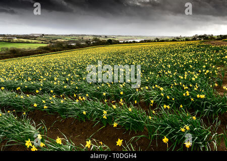 A large field full of daffodils Narcissus being grown for bulbs in Cornwall, UK. - Stock Image