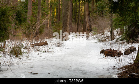 The dangerous,slippery frozen trail of North Grove trail Calaveras Big Trees State Park, California, USA, are an accident waiting to happen after the  - Stock Image