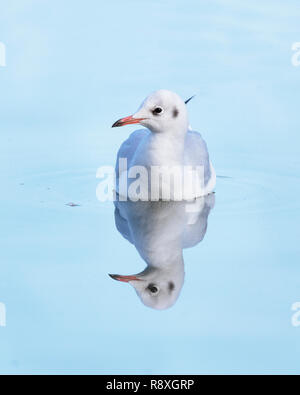 Black-headed gull portrait with its reflection below in the water - Stock Image