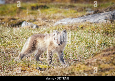 One Arctic Fox Pup, Vulpes lagopus. in summer pelage, standing in the tundra, Alkehornet, Spitsbergen, Svalbard, Norway - Stock Image