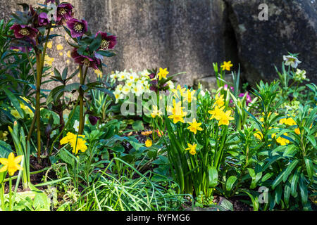 The shady corner of a small garden on a spring day with daffodils and hellebores growing with primroses in the background - Stock Image