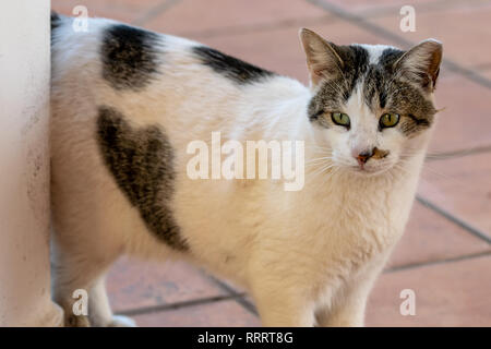 Domestic cat with a love heart shape in fur on tummy - Stock Image
