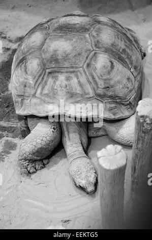 Giant tortoise resting in Ueno Zoo, Tokyo - Stock Image