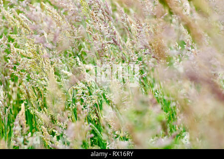 Grass, predominantly Yorkshire Fog (holcus lanatus), shot as it flowers. - Stock Image