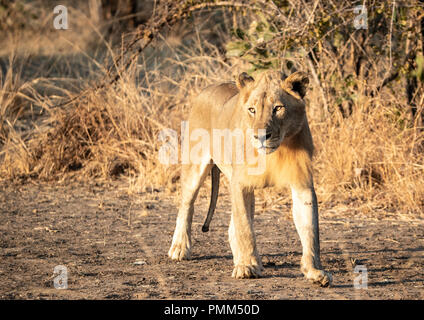 Juvenile male lionwalks in the sun - Stock Image