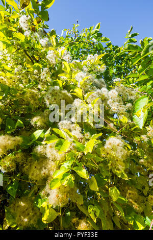 Wild Clematis / 'Old Man's Beard' shrub climbing over hedgerow - France. - Stock Image