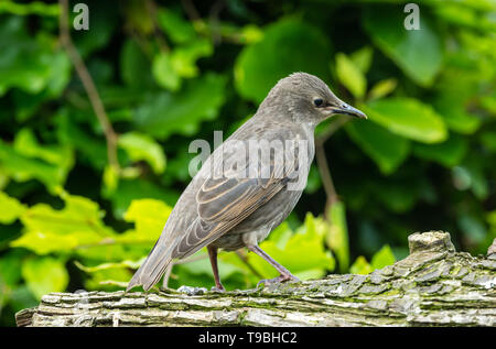 Juvenile starling, Scientific name: Sturnus vulgaris, facing right and perched on a log in natural garden habitat.  Blurred green leaf background. - Stock Image
