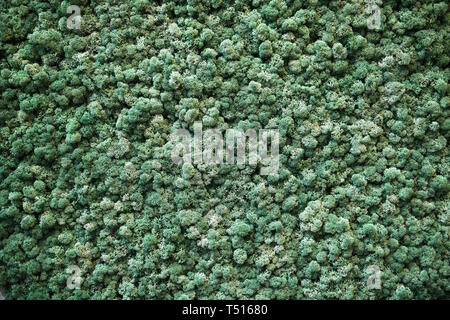 Dense carpet of dark green Finland moss in full frame, viewed from above in close-up. Natural backgrounds concept - Stock Image