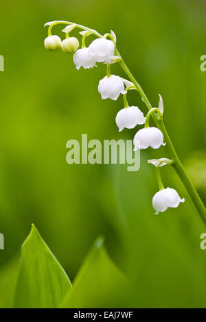 Small white lilies flowers and green leafs, closeup - Stock Image
