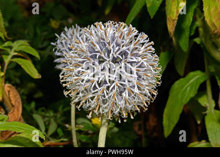 Echinops ritro (southern globe thistle) is native to southern and eastern Europe but now widely used as a garden plant. - Stock Image