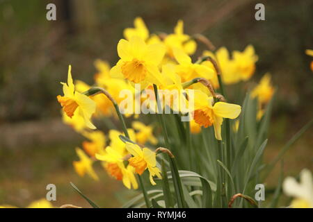 Daffodils, narcissus, on a spring day in March. - Stock Image