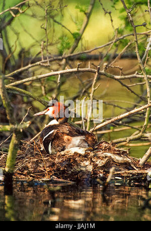 adult Great Crested Grebe, (Podiceps cristatus), sitting on nest with eggs,Regent's Park, London, United Kingdom, - Stock Image