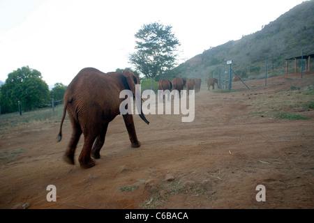 ELEPHANTS RETURNING TO SLEEP AT SHELDRICK ELEPHANT ORPHANAGE VOI NAIROBI - Stock Image