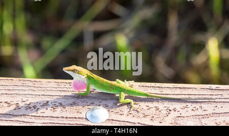 A male green anole lizard (anolis carolinensis) with pink throat fan displayed. - Stock Image