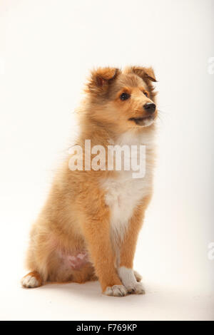 Sheltie, puppy, sable-white, 3 months|Sheltie, Welpe, sable-white, 3 Monate - Stock Image