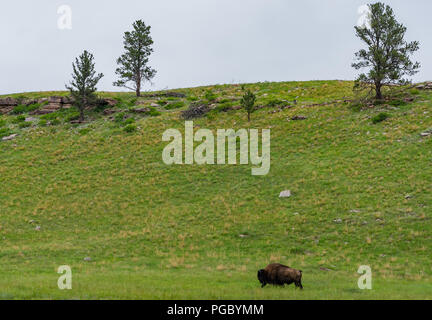 Lone Bison Grazes in Prairie Wilderness in Wind Cave National Park - Stock Image